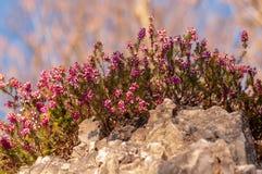 Carnea de Erica da floresta de Heath de mola das flores fotografia de stock royalty free