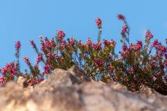 Carnea de Erica da floresta de Heath de mola das flores fotos de stock