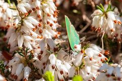 Carnea de Erica da floresta de Heath de mola das flores imagem de stock