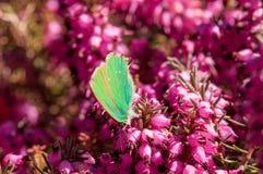 Carnea de Erica da floresta de Heath de mola das flores imagem de stock royalty free
