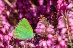 Carnea de Erica da floresta de Heath de mola das flores fotos de stock royalty free