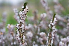 Carnea de Erica en la floración Fotos de archivo libres de regalías
