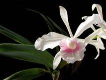 Carnea di purpurata di Laelia dell'orchidea di bellezza Fotografia Stock