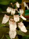 Carnea Habenaria стоковые изображения rf