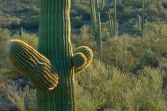 Carnegiagigantia is een symbool van het Amerikaanse Zuidwesten stock afbeeldingen