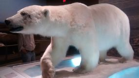 Carnegie museum of Pittsburgh. Polar bear exhibit stock image