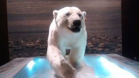 Carnegie museum of Pittsburgh. Polar bear exhibit stock photography