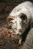 Carneiro-carneiro castrado Foto de Stock