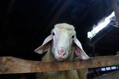 Carneiros Foto de Stock