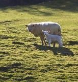 Carneiros & cordeiro - Wales - Reino Unido Foto de Stock Royalty Free