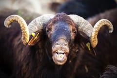 Carneiros animais Fotografia de Stock