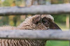 Carneiros atrás da cerca Fotografia de Stock Royalty Free