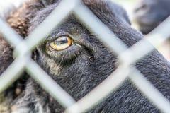 carneiros atrás da cerca, Francoforte fotos de stock royalty free
