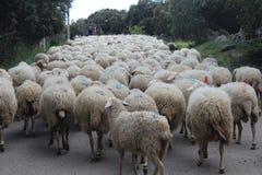 Carneiros bonitos com seus cordeiros em comer do campo fotografia de stock