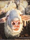 Carneiros brancos Fotografia de Stock