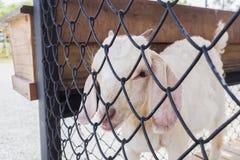 Carneiros brancos bonitos na gaiola Foto de Stock Royalty Free