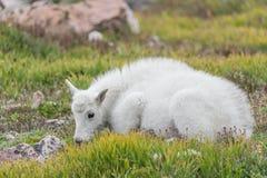 Carneiros brancos do Big Horn - Rocky Mountain Goat Imagens de Stock Royalty Free