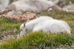 Carneiros brancos do Big Horn - Rocky Mountain Goat Fotografia de Stock