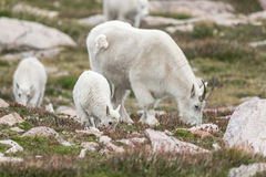 Carneiros brancos do Big Horn - Rocky Mountain Goat Imagem de Stock Royalty Free