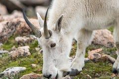 Carneiros brancos do Big Horn - Rocky Mountain Goat Fotos de Stock Royalty Free