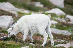 Carneiros brancos do Big Horn - Rocky Mountain Goat Foto de Stock