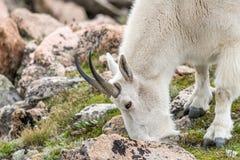 Carneiros brancos do Big Horn - Rocky Mountain Goat Imagens de Stock