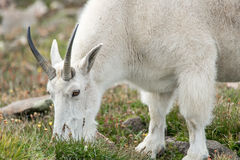 Carneiros brancos do Big Horn - Rocky Mountain Goat Foto de Stock