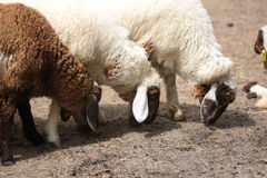 Carneiros brancos e marrons que comem a alimentação animal Fotografia de Stock