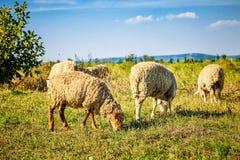 Carneiros brancos em um gramado Foto de Stock Royalty Free