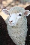 Carneiros brancos entre carneiros de Brown Fotografia de Stock