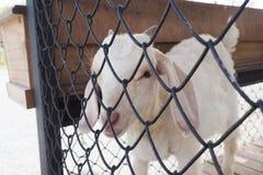 Carneiros brancos na gaiola Foto de Stock Royalty Free