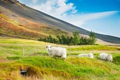 Carneiros brancos na grama verde nas montanhas Fotos de Stock