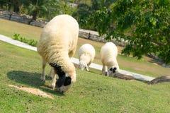 Carneiros brancos no cultivo de carneiros Fotografia de Stock