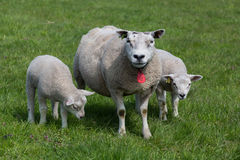 Carneiros com cordeiros novos Imagem de Stock