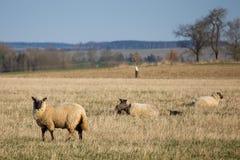 Carneiros com os cordeiros no pasto Fotos de Stock