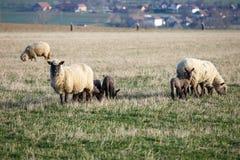 Carneiros com os cordeiros no pasto Fotos de Stock Royalty Free