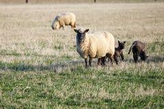 Carneiros com os cordeiros no pasto Fotografia de Stock Royalty Free