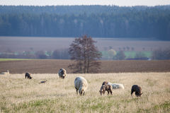 Carneiros com os cordeiros no pasto, tempo de mola Imagem de Stock
