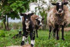 Carneiros com os cordeiros nos montes Foto de Stock