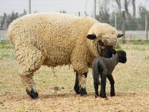 Carneiros com seu bebê Fotos de Stock Royalty Free