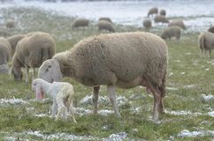 Carneiros com seu cordeiro recém-nascido Fotos de Stock Royalty Free