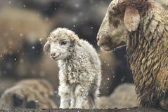 Carneiros com seu cordeiro recém-nascido