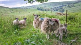 Carneiros & cordeiros no campo Imagem de Stock