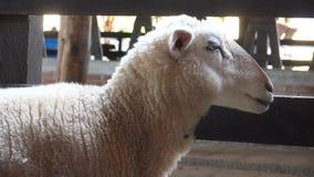 Carneiros, cordeiros, rebanhos animais, animais de exploração agrícola video estoque