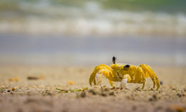 Carneiros crab. A yellow crab on the sandy beach of Carneiros beach, Pernambuco, Brazil, with waves on the background royalty free stock photos