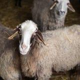 Carneiros curiosos na exploração agrícola Foto de Stock