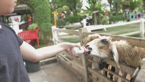 Carneiros da alimentação de crianças e cabra bonitos asiáticos de suas mãos, movimento lento 4K vídeos de arquivo