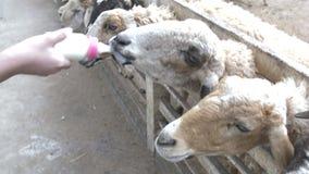 Carneiros da alimentação de crianças e cabra bonitos asiáticos de suas mãos, movimento lento 4K video estoque
