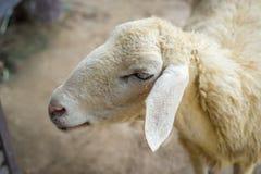 Carneiros da cara do close up, retrato animal Fotografia de Stock