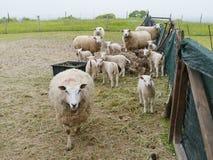 Carneiros da mãe com os carneiros do bebê na primavera Fotos de Stock Royalty Free